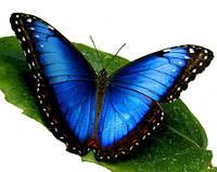 """Живая тропическая бабочка """"Morpho peleides (Морфо Пелеида)"""" 12-14см"""