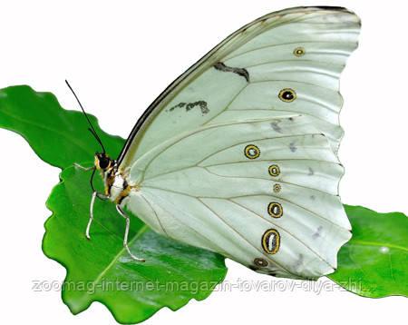 """Живая тропическая бабочка """"Morpho polyphemus (Морфо Полифем)"""" 14-16см"""