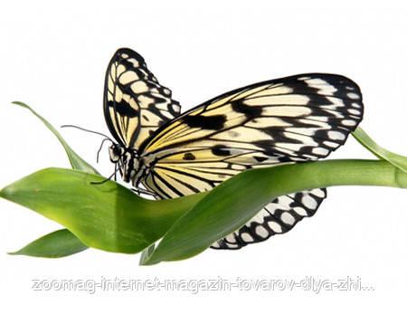 """Живая тропическая бабочка """"Idea leuconoe (Идея белая)"""" 12-14см"""