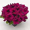 Семена Петуния крупноцветковая  Success (Саксесс) F1 Бургунди Burgundy 500 семян Benary