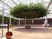 Итальянской Томатное Дерево семена, фото 3