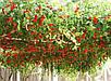 Итальянской Томатное Дерево семена, фото 4