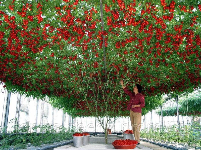 Итальянской Томатное Дерево семена
