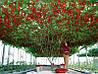 ИТАЛЬЯНСКОЕ ТОМАТНОЕ ДЕРЕВО (урожайность - 20кг. с одного растения)