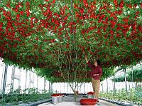 ИТАЛЬЯНСКОЕ ТОМАТНОЕ ДЕРЕВО (урожайность - 20кг. с одного растения), фото 1