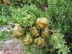 Семена Кипарис, фото 2