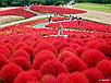 Семена Кипарис Летний красный, фото 2