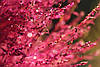 Семена Кипарис Летний красный, фото 3