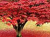 Красный Клен семена, фото 4