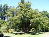 Лавр Камфорный семена, фото 2