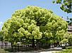 Лавр Камфорный семена, фото 3