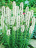 Лиатрис белый Spicata Alba в контейнере