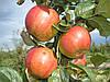 Садовник, обрезка сада и винограда в Киевской области