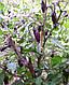 Перец чили комнатный Фиолетовый Тигр семена, фото 3