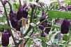 Перец чили комнатный Фиолетовый Тигр семена, фото 4