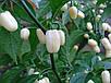 "ПЕРЕЦ ""ХАБАНЕРО"" БЕЛЫЙ - Habenero White Capsicum chinense, фото 2"