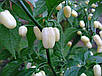 Перец чили Хабанеро белый семена, фото 2