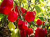 Семена Перец чили Хабанеро красный, фото 2