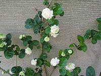 ЖАСМИН САМБАК - укоренённый черенок , фото 1