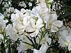Олеандр Белый - укоренённый черенок, фото 3