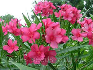Олеандр Розовый - укоренённый черенок