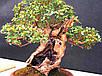 Семена Мирт, фото 5