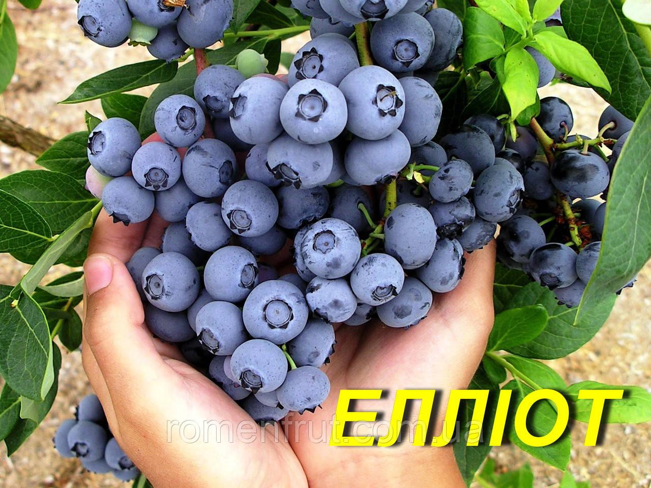 "Голубика (черника) ""Эллиот"" (ЗКС) 2 г."