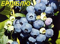 "Голубика (черника) ""Эллиот"" (ЗКС) 3 г."