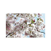 Фотообои Komar Цветущая сакура 8-507