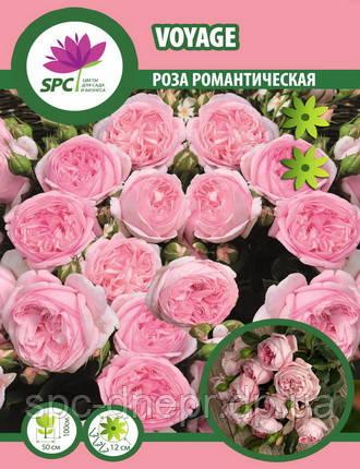 Роза романтическая Voyage