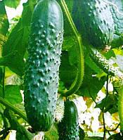 Семена огурца Спино F1, Syngenta, Голландия
