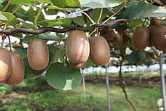 Особенности и тонкости выращивания экзотических плодов