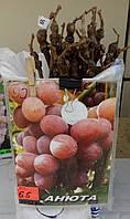 Саженец винограда сорт Анюта