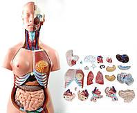 Анатомическая модель торса человека скелет череп 85см 23 части