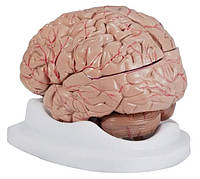 Модель мозга 8 частей человека с артериями в натуральную величину 2 версии скелет череп
