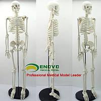 Скелет модель макет человека для школьников 85 см СЕ