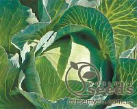 Зелонор F1 (Зеленор F1) 2500 с. семена капусты б/к поздней 130-135 дн. 3 кг (Syngenta)