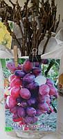 """Саженец винограда сорт """"Персиковый"""""""