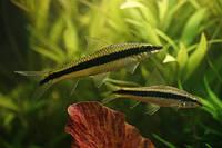 Аквариумная рыбка Водорослеед САЕ