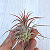 Тилландсия Ионанта малиновая (Tillandsia Ionantha red), фото 2