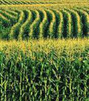 Семена Кукурузы Порумбень 351 МВ(силос) (ФАО 350)