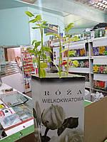 Роза саженцы чайно-гибридная  белая 80-120 см  Rosa Wielkokwiatowa Польша