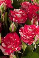 GreenWay Спрей розы Фаер воркс