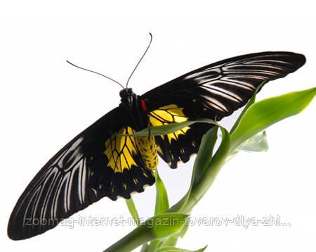 """Живая тропическая бабочка """"Troides Rhadamantus (Троидес, Птицекрылка)"""" 12-16см"""