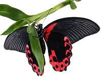 """Живая тропическая бабочка """"Papilio rumanzovia (Парусник Румянцева)"""" 12-14см"""