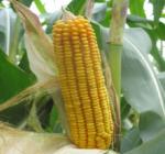 Семена кукурузы Мас 33.А (ФАО 320)