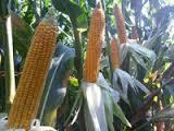 Семена кукурузы Мас 37.В (ФАО 340)