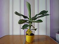 Банан комнатный, фото 1