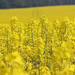 Золотые правила выращивания рапса