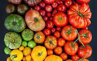 Лучшие сорта помидор для теплиц: выбор сорта для защищенного грунта